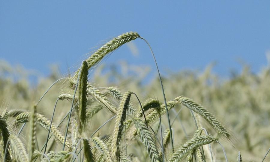 Cultivo de cebada. Imagen: Pixabay.