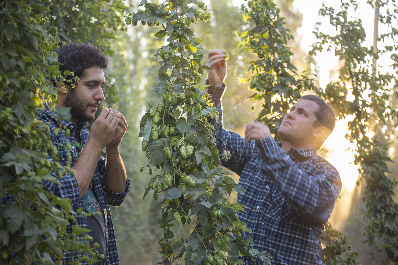 Cosecha de Lúpulo Cerveza Patagonia
